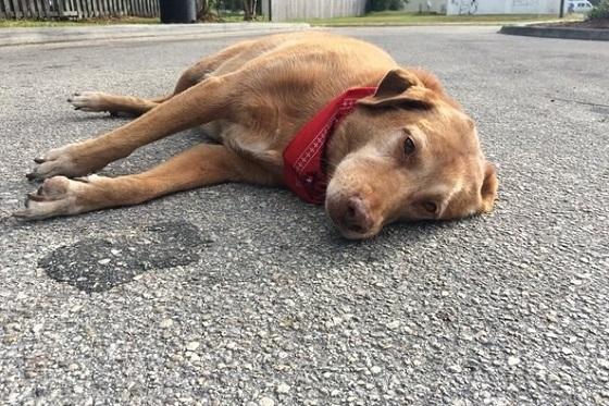 1匹の犬が悲しい表情で何時間も道路に横たわり続ける理由に心が痛くなる...
