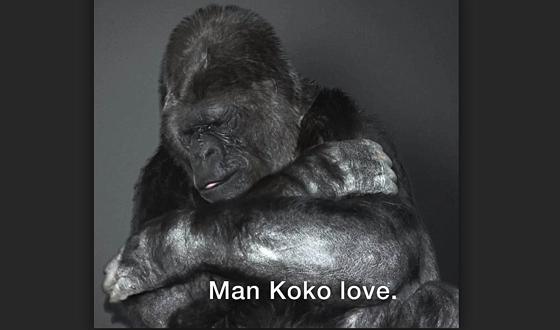 """手話のできるゴリラの""""ココ""""が人間に伝えた衝撃的なメッセージに心打たれる!!!"""