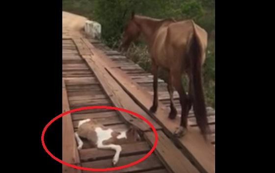 橋に挟まった子馬を何もできず見つめるだけの母馬。すると、ある男性が危険をかえりみず救助を試みる・・・