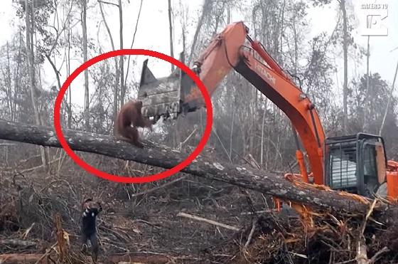 森林を守るためにオラウータンがブルドーザーに立ち向かっていく動画に考えさせられる・・・