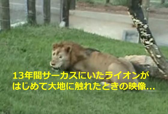 13年間サーカスにいたライオンが、はじめての大地を踏みしめたときの映像に考えさせられる...
