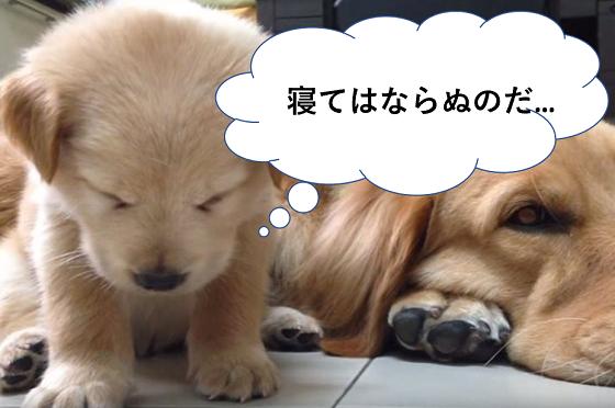 子犬が睡魔と戦っている動画が可愛すぎる♪やっぱり、最後は...