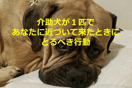 介助犬が1匹であなたに近づいて来たときにとるべき行動とは...