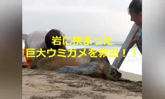 海岸で岩に挟まった巨大ウミガメを発見した若いカップルの行動に称賛の嵐!!