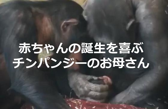 赤ちゃんの誕生を喜ぶチンパンジーのお母さんの取った行動に超感動!!