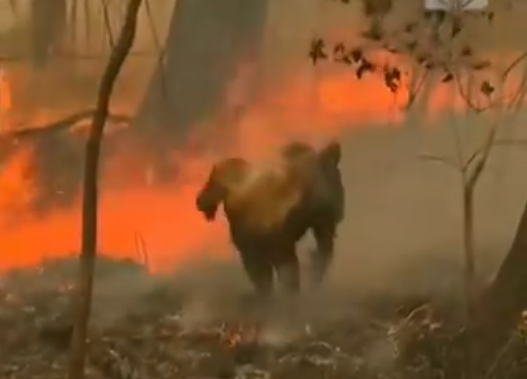 山火事で火傷をしたコアラを自分のシャツを脱いで包み救う