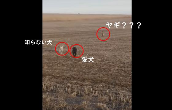 """行方不明になった冒険好きの愛犬が""""ヤギ""""を連れて帰ってきた動画にほっこり!!"""