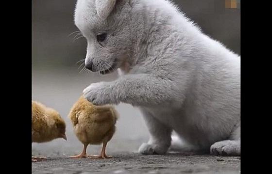 ヒヨコと遊びたくて、ちょっかいをかけつづける子犬の動画に癒される!!
