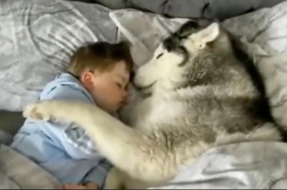 愛犬のシベリアンハスキーがベッドからでてこない...その結果...