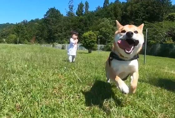 これどうやって撮影してるの??数ヶ月ドッグランを自粛した柴犬の走りっぷりが半端ないwww