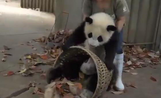 パンダたち VS 落ち葉拾いをしたい飼育員さんの壮絶な争いに癒されるw