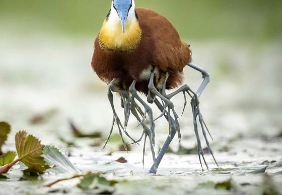この鳥は脚は何本あるの???その驚愕の理由に生命の神秘を感じる!!