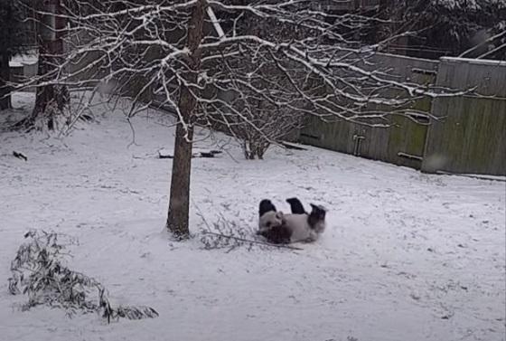 大雪が降ってパンダが大はしゃぎして遊びまくる動画が可愛すぎるw